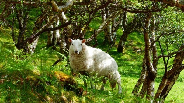 Lochinver Scotland Sheep
